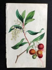Twamley - Romance of Nature 1836 Hand Col Botanical Print. Strawberry Tree 27